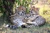 Cheetah_Cubs_Mara_Kenya_Asilia_20150093