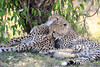 Cheetah_Cubs_Mara_Kenya_Asilia_20150072