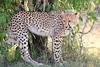 Cheetah_Cubs_Mara_Kenya_Asilia_20150030