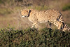 Cheetah_Family_Phinda_2016_0049