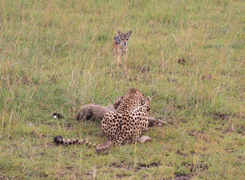 Cheetah Cub Mom Mara Topi House Jackal
