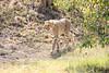 Cheetah_Cubs_Mara_Kenya_Asilia_20150055