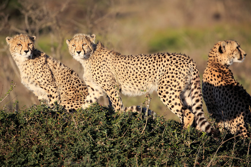 Cheetah_Family_Phinda_2016_0052