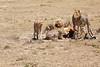 Cheetah_Feast_Mara_Kenya_Asilia_20150058