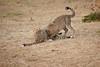 Cheetah_Cubs_Mara_Kenya_Asilia_20150164