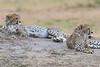 Cheetah_Cubs__Mara_Kenya_Asilia_20150002