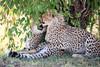 Cheetah_Cubs_Mara_Kenya_Asilia_20150041