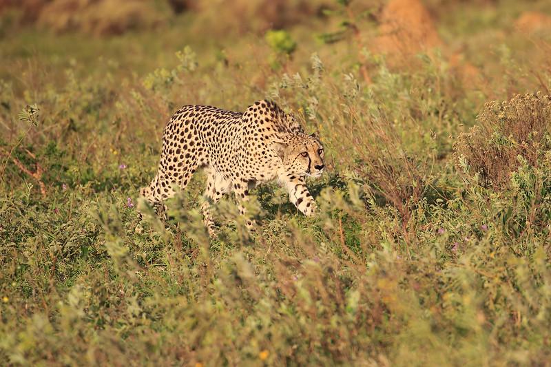 Cheetah_Adventure_Phinda_2016_0008