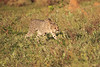 Cheetah_Adventure_Phinda_2016_0008