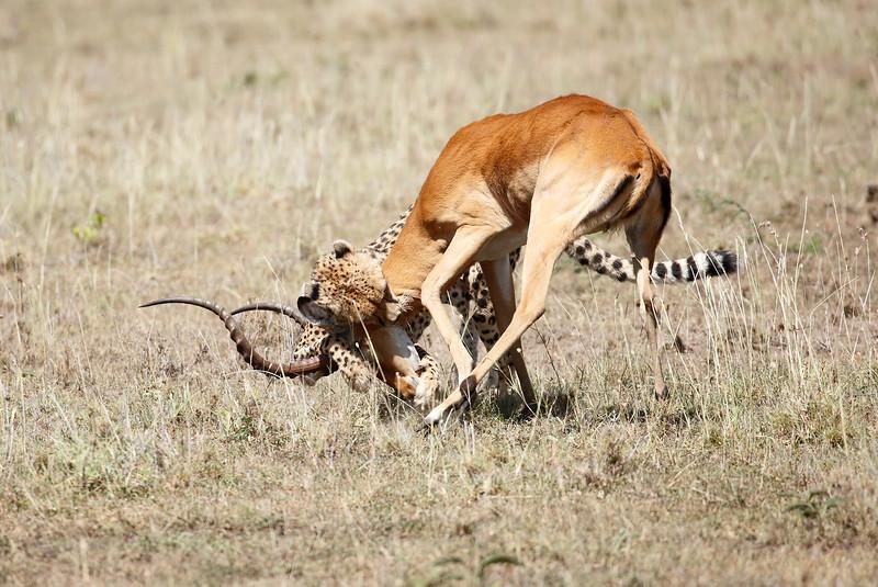 Cheetah_Feast_Mara_Kenya_Asilia_20150160