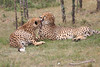Cheetah_Mara_Asilia_Kenya0027