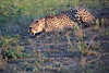 Cheetah_Adventure_Phinda_2016_0122