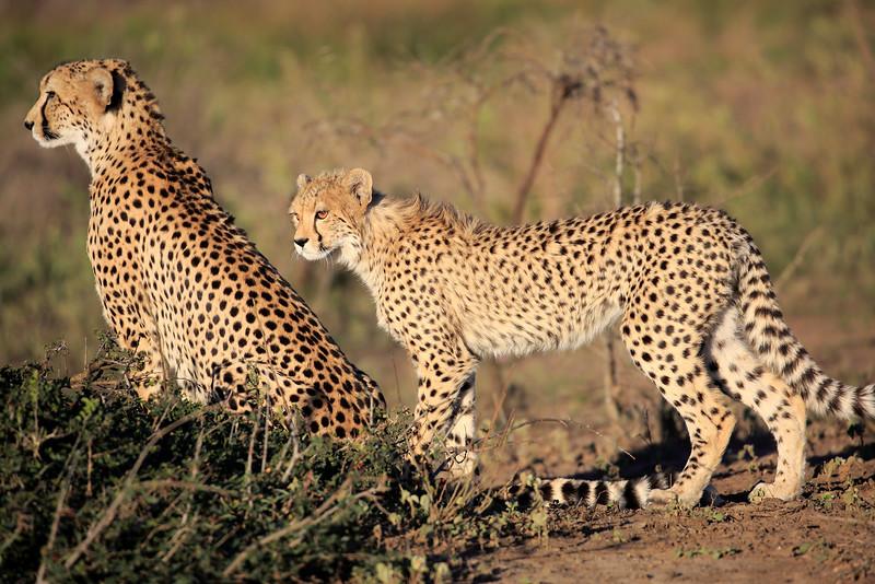 Cheetah_Family_Phinda_2016_0045