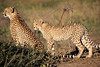 Cheetah_Family_Phinda_2016_0045