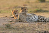 Cheetah_Cubs_Mara_Kenya_Asilia_20150251