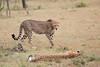 Cheetah_Mara_Asilia_Kenya0021