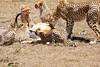 Cheetah_Feast_Mara_Kenya_Asilia_20150085