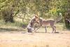 Cheetah_Cubs_Mara_Kenya_Asilia_20150049