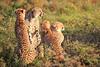 Cheetah_Adventure_Phinda_2016_0085