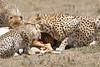 Cheetah_Feast_Mara_Kenya_Asilia_20150254