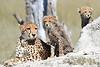 Cheetah Cubs Kwara Botswana