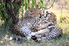 Cheetah_Cubs_Mara_Kenya_Asilia_20150083