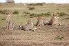 Cheetah_Family_Portraits_Mara_Kenya_Asilia_20150016