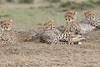 Cheetah_Family_Portraits_Mara_Kenya_Asilia_20150040