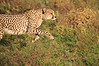 Cheetah_Adventure_Phinda_2016_0013