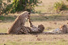 Cheetah_Cubs_Mara_Kenya_Asilia_20150209