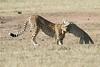 Cheetah_Cub_Playing_Mom_Mara_Kenya_Asilia_20150009