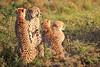 Cheetah_Adventure_Phinda_2016_0084