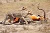 Cheetah_Feast_Mara_Kenya_Asilia_20150028