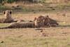 Cheetah_Cubs_Mara_Kenya_Asilia_20150283