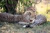 Cheetah_Cubs_Mara_Kenya_Asilia_20150066