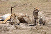 Cheetah_Feast_Mara_Kenya_Asilia_20150006