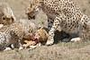 Cheetah_Feast_Mara_Kenya_Asilia_20150249