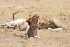 Cheetah_Feast_Mara_Kenya_Asilia_20150069