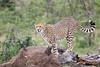 Cheetah_Mara_Asilia_Kenya0010