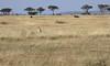 Mother Cheetah  Western Serengeti