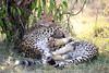 Cheetah_Cubs_Mara_Kenya_Asilia_20150077