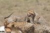 Cheetah_Feast_Mara_Kenya_Asilia_20150246