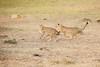 Cheetah_Cubs_Mara_Kenya_Asilia_20150174