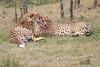 Cheetah_Mara_Asilia_Kenya0028