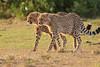 Cheetah_Cubs_Mara_Kenya_Asilia_20150244