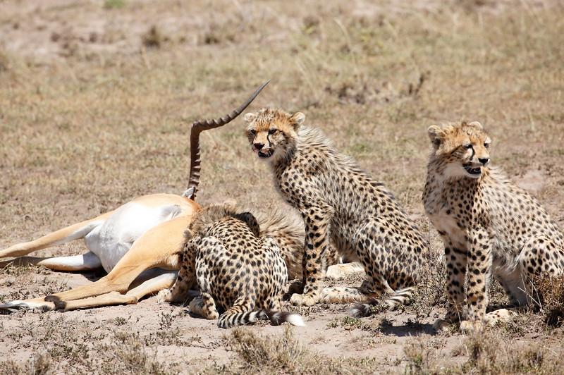Cheetah_Feast_Mara_Kenya_Asilia_20150007
