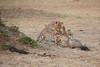Cheetah_Cubs_Mara_Kenya_Asilia_20150122