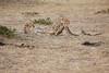 Cheetah_Cubs_Mara_Kenya_Asilia_20150138