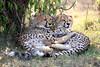Cheetah_Cubs_Mara_Kenya_Asilia_20150097