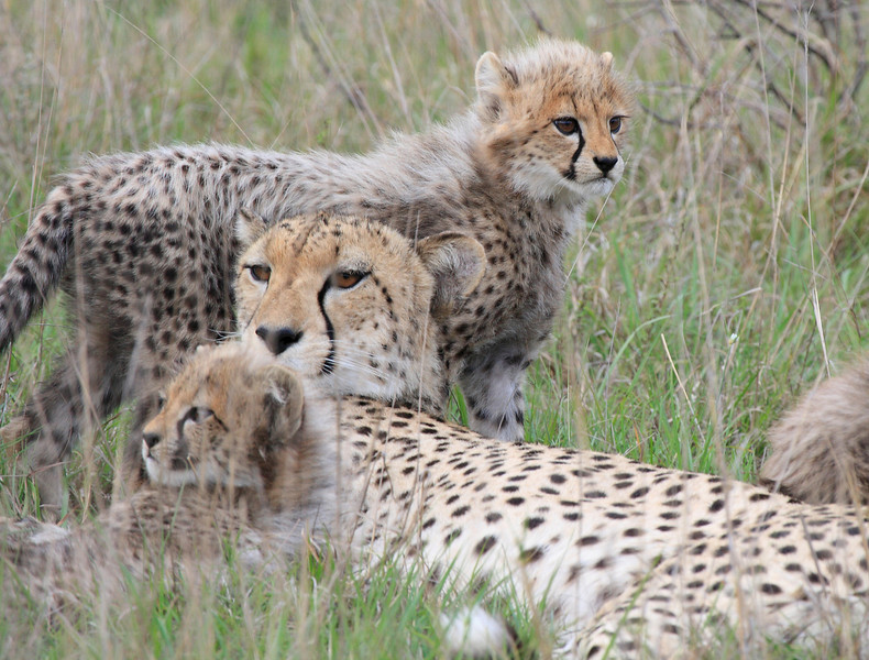 Cheetah Cubs and Family Phinda South Africa